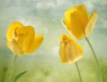 """""""Желтые тюльпаны"""" трио, цена за 1 кв.м."""