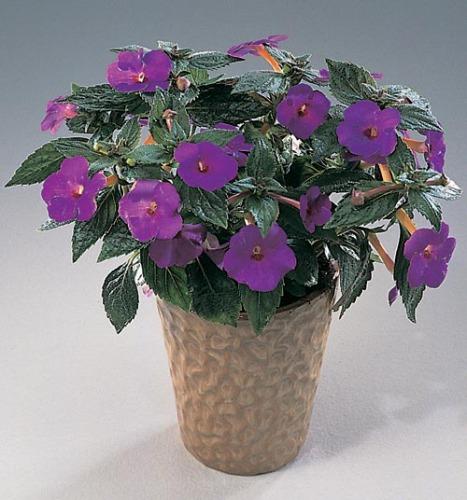 Фото комнатных цветов с фиолетовыми цветками