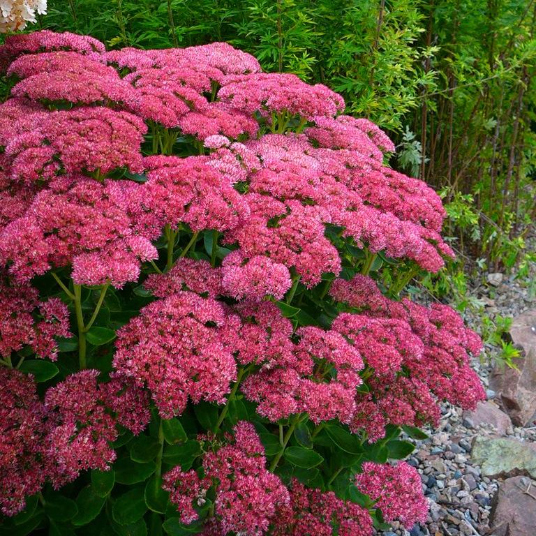 Седум очиток цветы Фото выращивание сорта уход Sedum