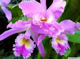 Махровые орхидеи фото